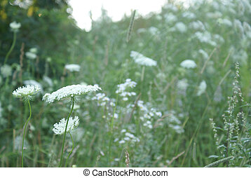 Queen Anne Lace Flower Series - A single image of a set of...