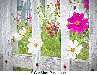 cosmos flowers in wooden fence - pink and white cosmos...