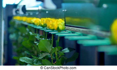 Flowers being transported by factory machine. - Factory...
