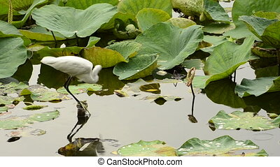 White Egret hunting in lotus pond.