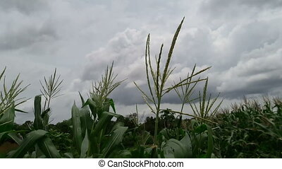 Corn hit by a gust of wind during the rainy season.