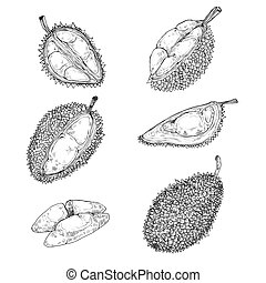 Set of vector illustrations, icons of a durian fruit - Set...