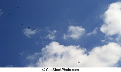 Birds soar in the sky - Seagulls and crows fly high in the...