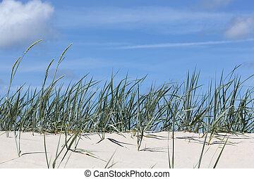 The beach grass grows on a sandy dune