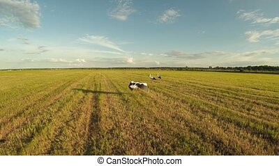 Flying for storks in the field. Countryside. Evening sunset.
