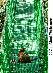 Wild coati over suspension bridge - Closeup of wild coati...