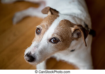 Close up of purebred dog Jack russell terrier at home