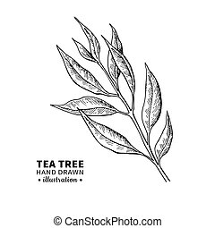 Tea tree vector drawing. Isolated vintage illustration of medical plant leaves on branch.