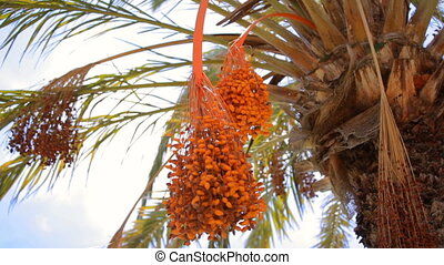 Fruits on date palm - Date palm with orange fruits. Spain...