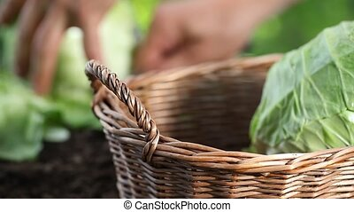 Hands picking a cabbage in vegetable garden, collect and put...