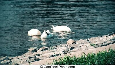 White ducks swimming and looking for food in a pond