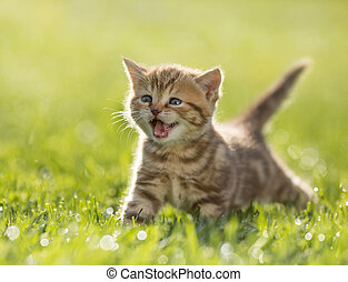 Young kitten cat meowing in the green grass - Young funny...