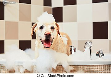 Dog taking a bath - Bathing of the yellow labrador...