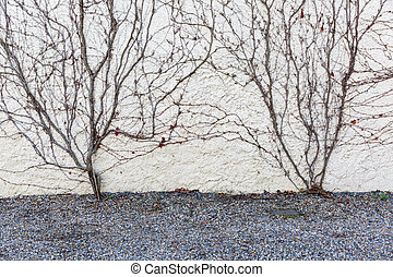 Dry vines cover the wall - Close up photo of ornamental dry...