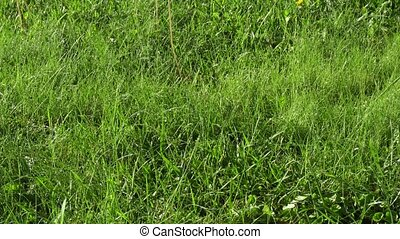 Green grass in garden - Green grass with water drops shining...