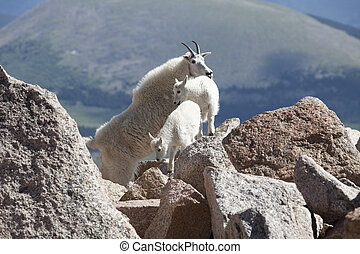 Mountain Goat Mother and Kids - Adult Mountain Goat with...