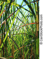 Sugarcane background - Abstract of sugar cane leaves...