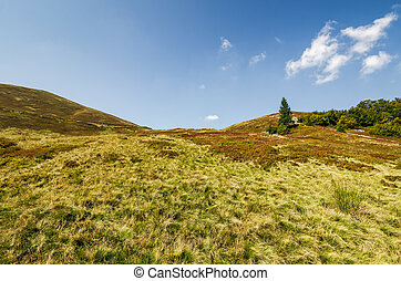 lonely spruce tree on a grassy meadow of the mountain ridge....