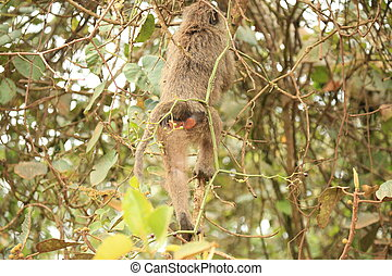 Monkey Bum - Bigodi Wetlands - Uganda, Africa - Monkey Bum...
