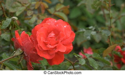Beautiful red rose with water drops