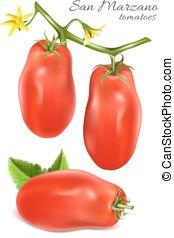 Italian plum tomatoes San Marzano. Vector illustration of...