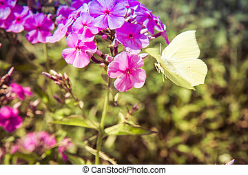 The common brimstone butterfly