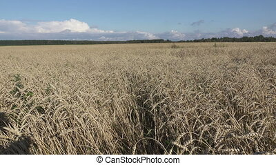 Wind swings ripe ears of wheat in the field in sunny day,