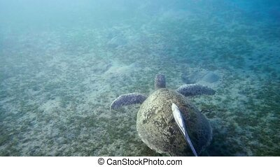 Hawksbill Sea Turtle swimming in blue water