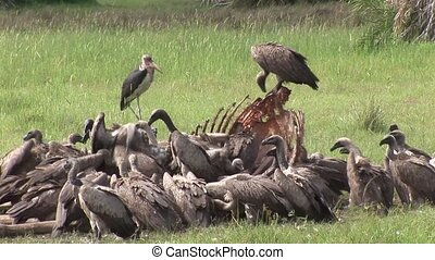 Wild Griffon Vulture and Lion eating Giraffe Africa savannah...