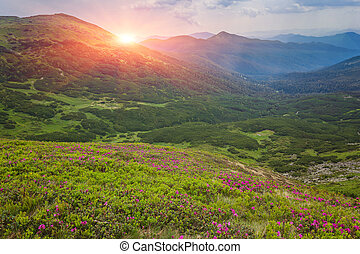 rosa, berge., rhododendron, blumen, magisches