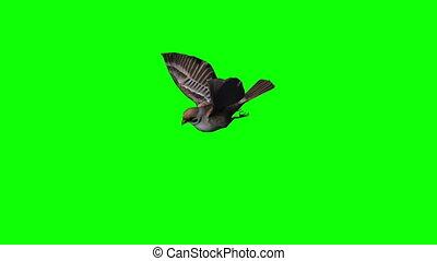 bird sparrow is flying - green screen 1