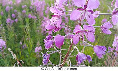 Fireweed (Epilobium angustifolium) in bloom - Pink flowers...