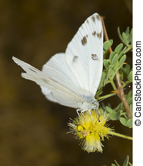 White Arizona Butterfly feeding - A species of white...