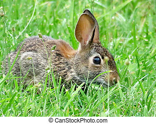 The eastern cottontail rabbit isolated in forest of...