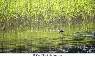 The garganey (Spatula querquedula) is a small dabbling duck...