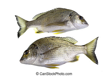 Bream Yellowfin Fish - The yellowfin bream, Acanthopagrus...