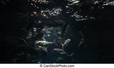 Fish swim in a large oceanarium. - Fish swim in a large...