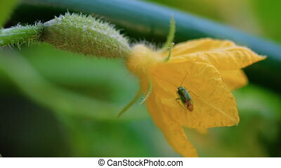 Bug on a flowering cucumber - Green bug on a flowering...