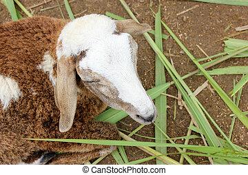 Close Up Of Sheep.