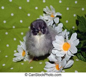 Blue Cochin baby chicken in daisies