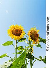 two stem of sunflowers in field under sun in blue sky