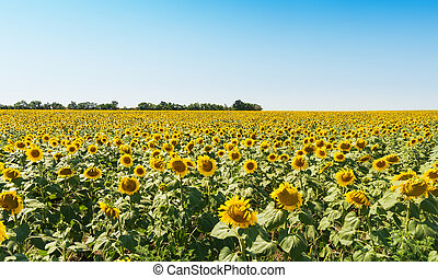 agriculture field with sunflowers and blue sky