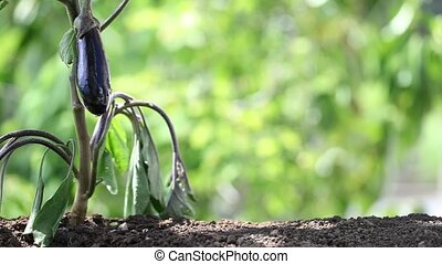 hand watering plants. eggplant in vegetable garden. close up