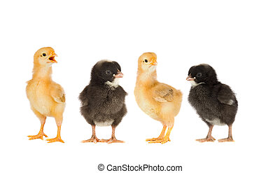 Two yellow chickens and a couple black isolated on a white...