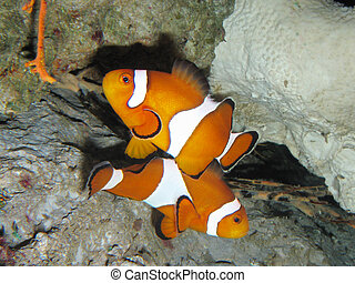 Clown fishes - Two orange clown fishes close up