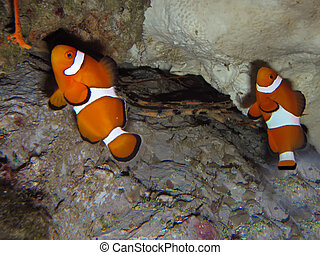 Image de poissons clown clown poissons natation dans for Poisson clown prix
