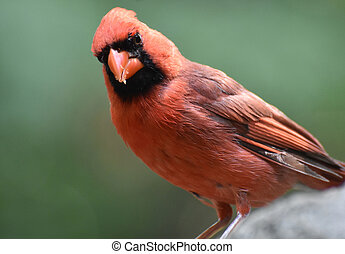 Curious Northern Cardinal Bird Standing on Limestone -...