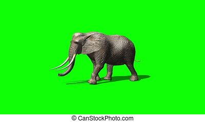 elephant ambles past - green screen 1