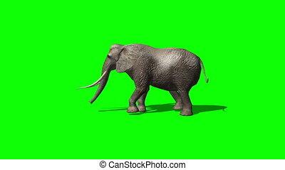 elephant ambles past - green screen 3