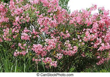 Flowering Oleander bush